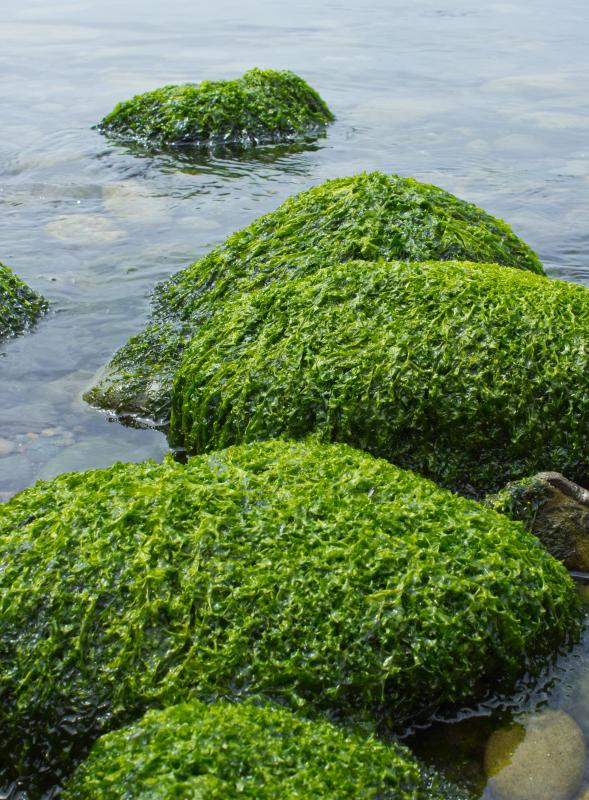 Algae, which is made of protists, plays an important role in maintaining the planet's oxygen levels.