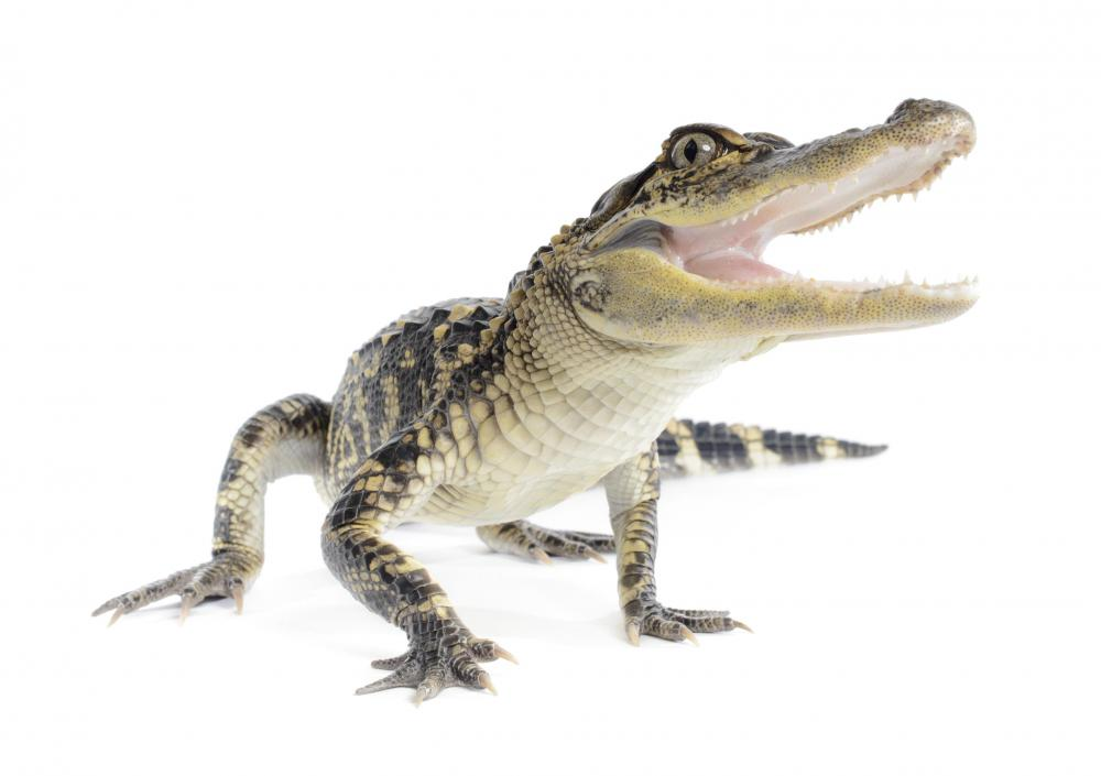 Alligators are one of the animals with dermal pressure receptors.