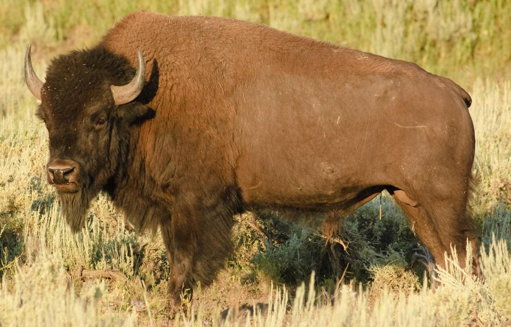 Beefalo is the result of cross breeding an American bison with a domestic cow.