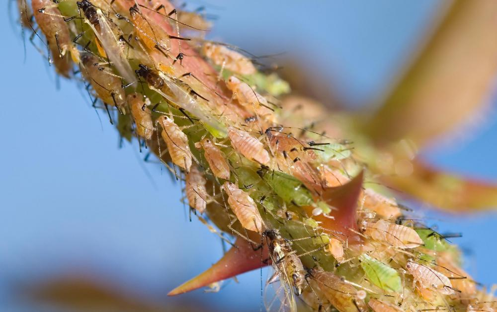 Aphids feed on the sap of plants.