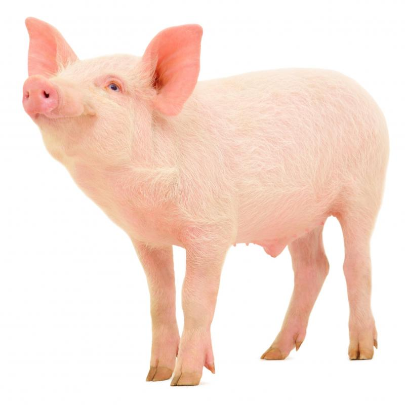 People who work in animal husbandry might specialize in caring for pigs or other specific animals.