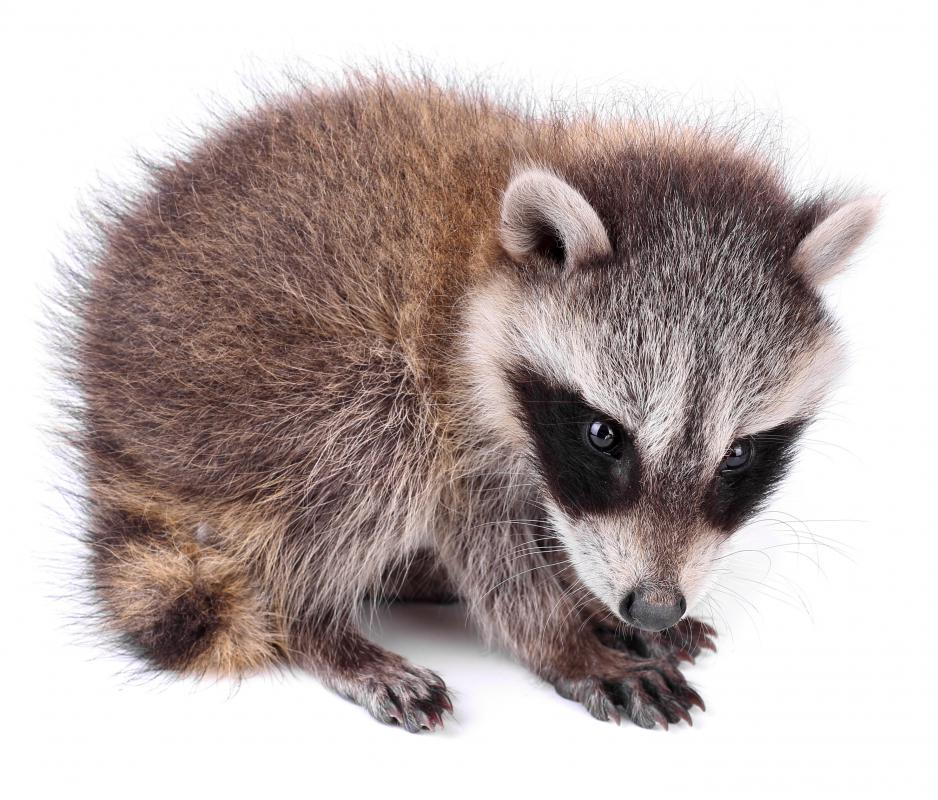 A baby raccoon.