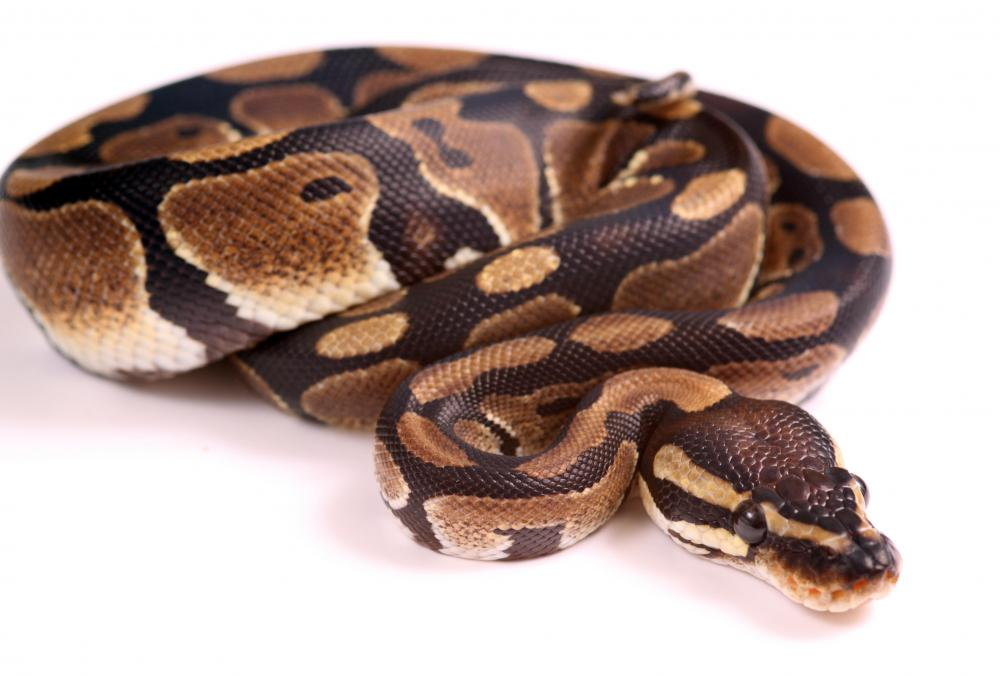 Ball pythons are popular pet snakes.