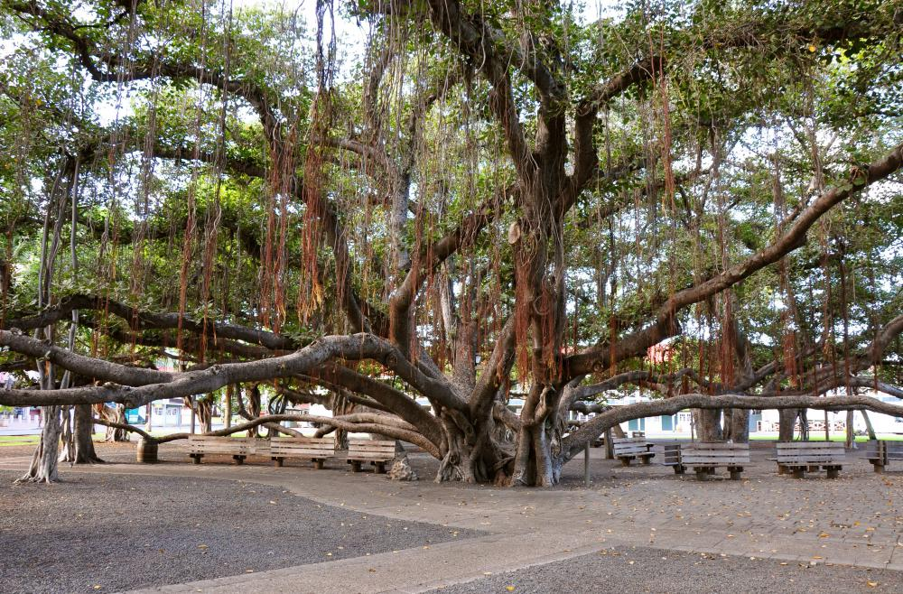 Banyan trees can be large and sprawling, with multiple secondary trunks.