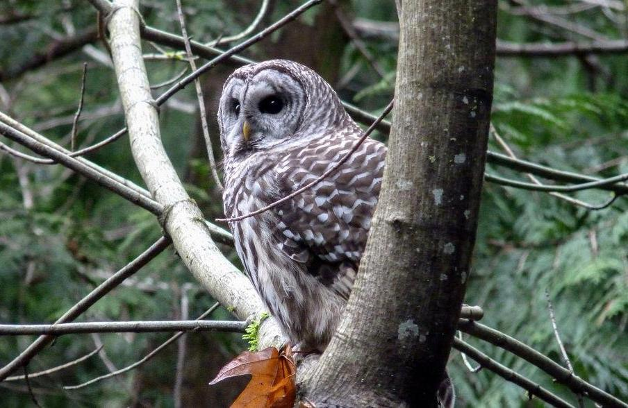 The hoot owl is also known as the barred owl.