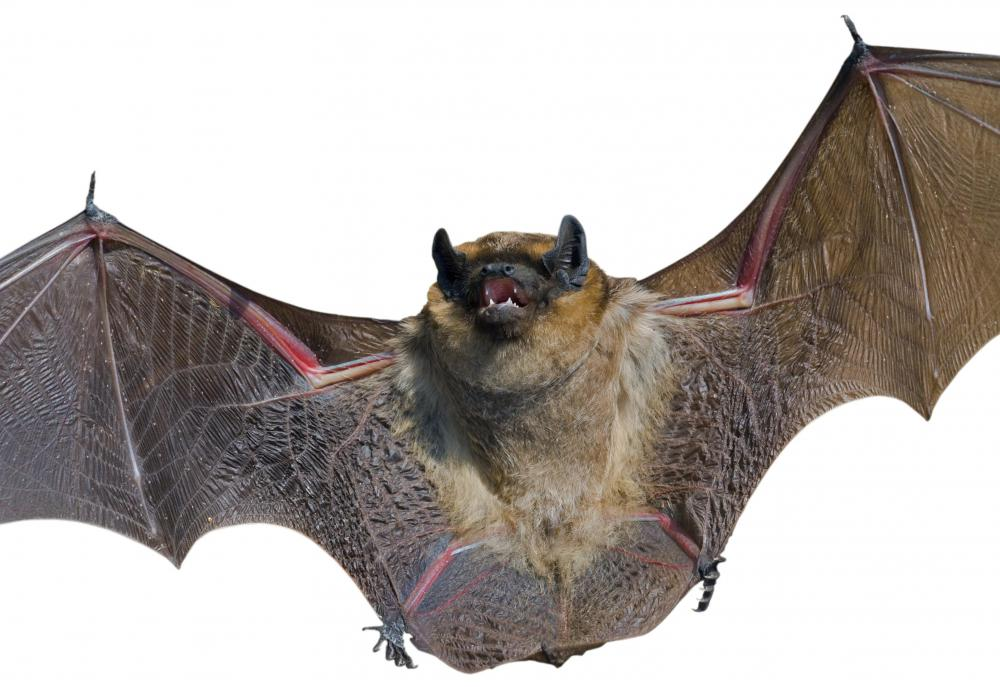 Bats are one of the few examples of the evolution of flight.
