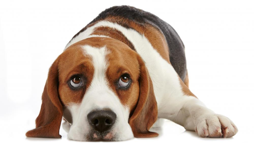 Beagles are one breed that often howl at sirens.