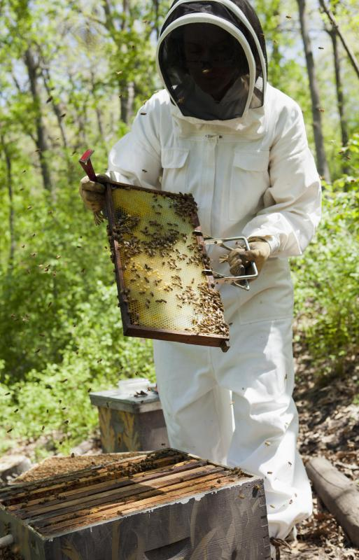 Beekeepers maintain honey bee colonies.