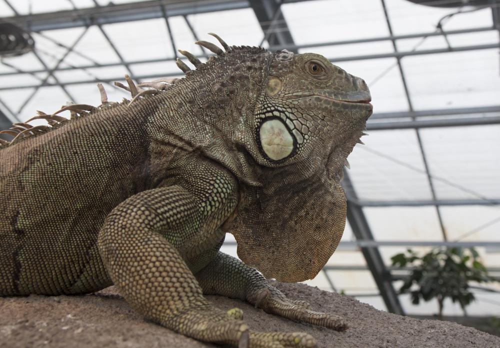 Iguanas are a popular breed of lizard that people have as pets.