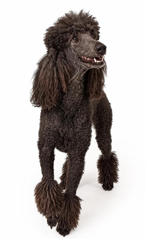 A poodle is considered a particularly good dog for a family.