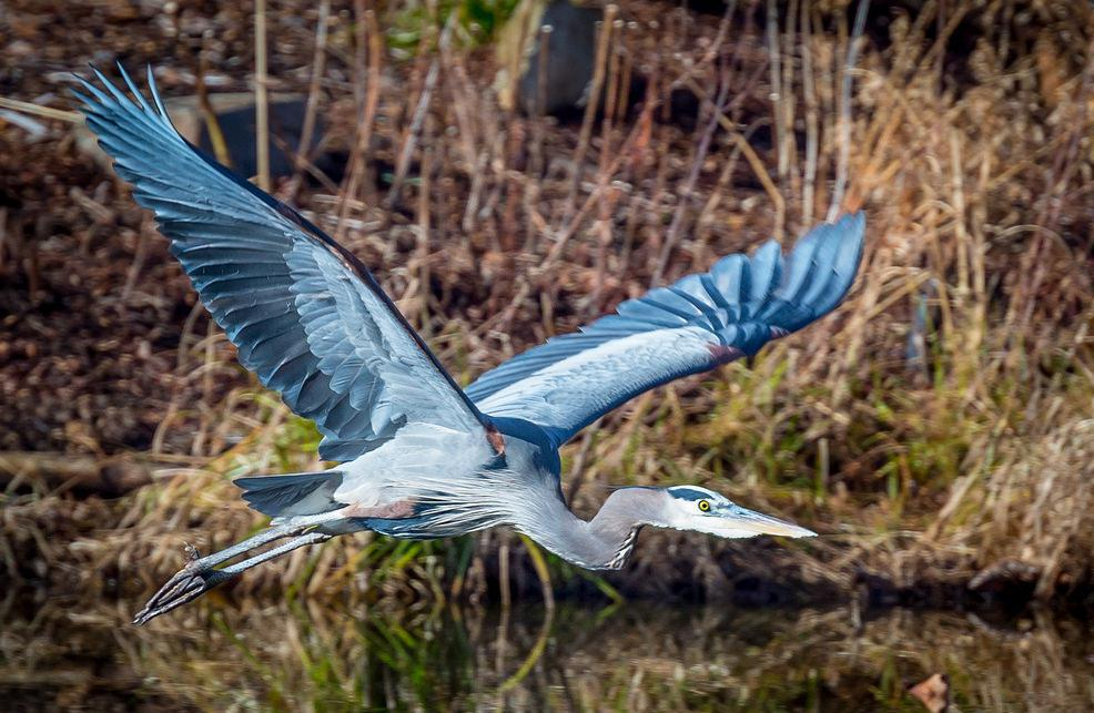 The great blue heron is a large waterbird that can be found along fresh and saltwater waterways across North America.