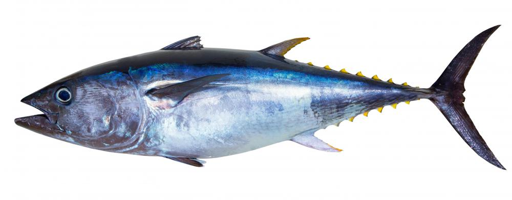 Albacore are large fish in the tuna family.