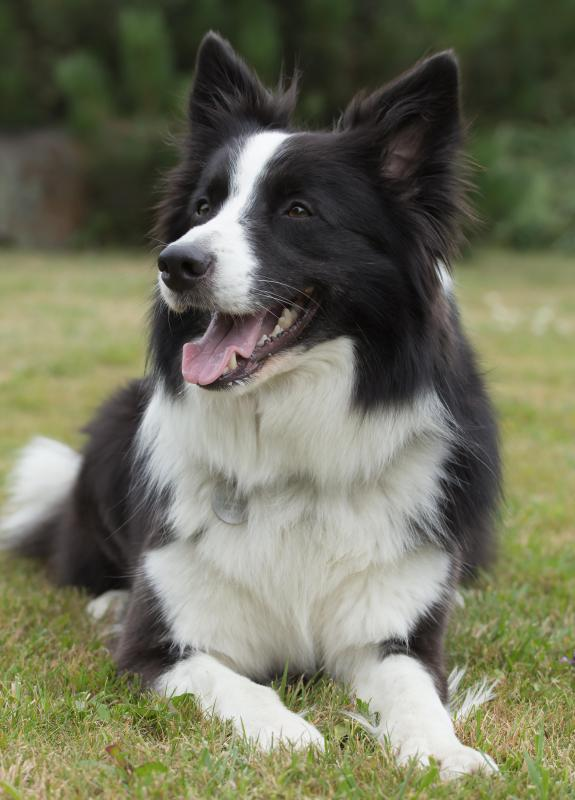 Border Collies can work as a search and rescue dog.