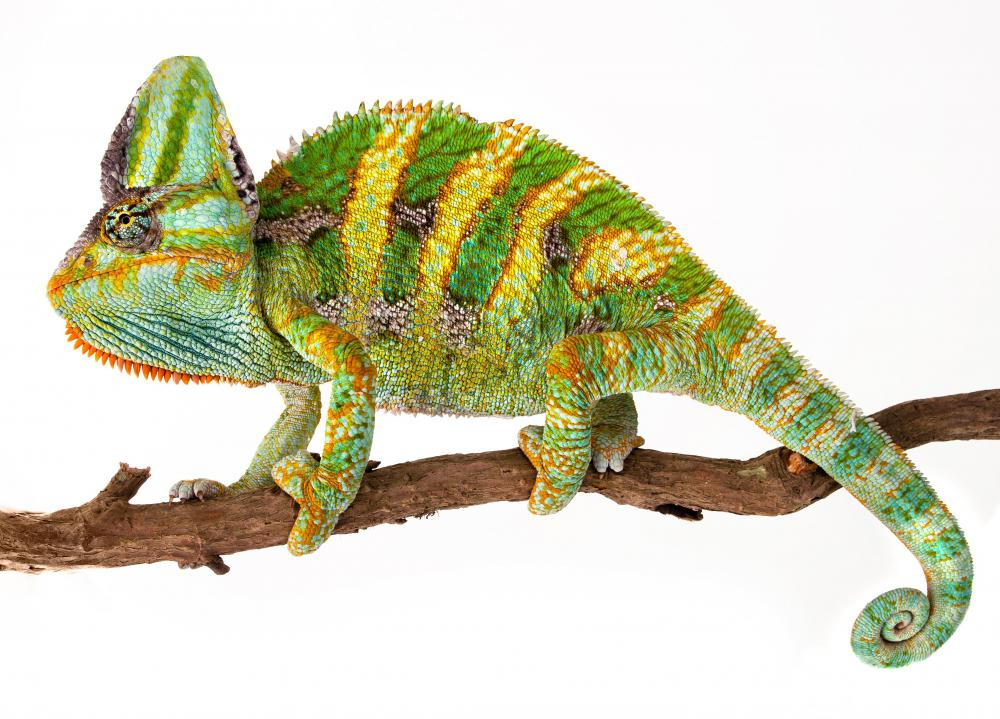 Chameleons are arboreal animals.