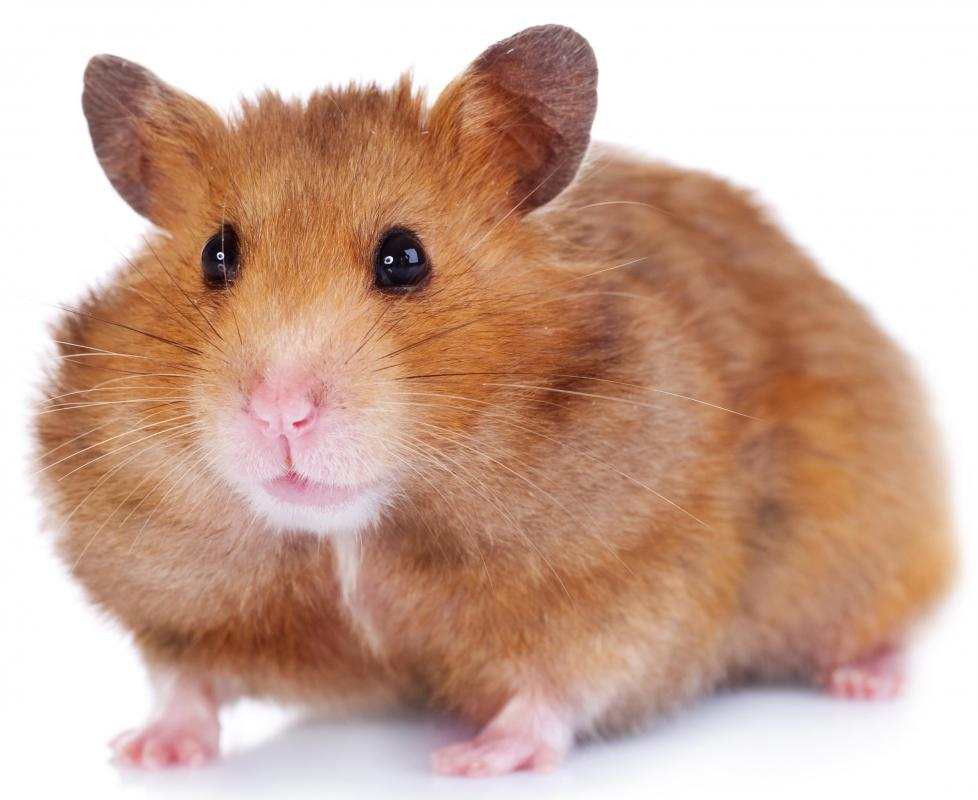 Hamsters can be good first pets since they like to be held, but they only live a few years.