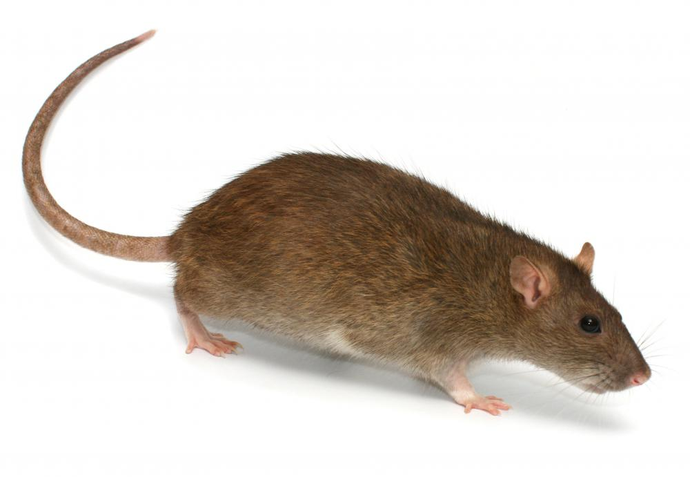 Rats are good examples of generalist animals.