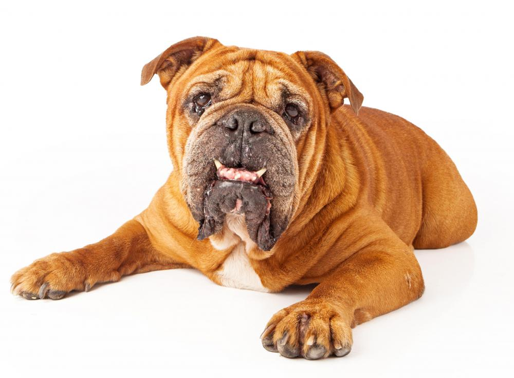 Bulldogs may have serious breathing problems caused by Brachycephalic Airway Obstruction (BAOS).