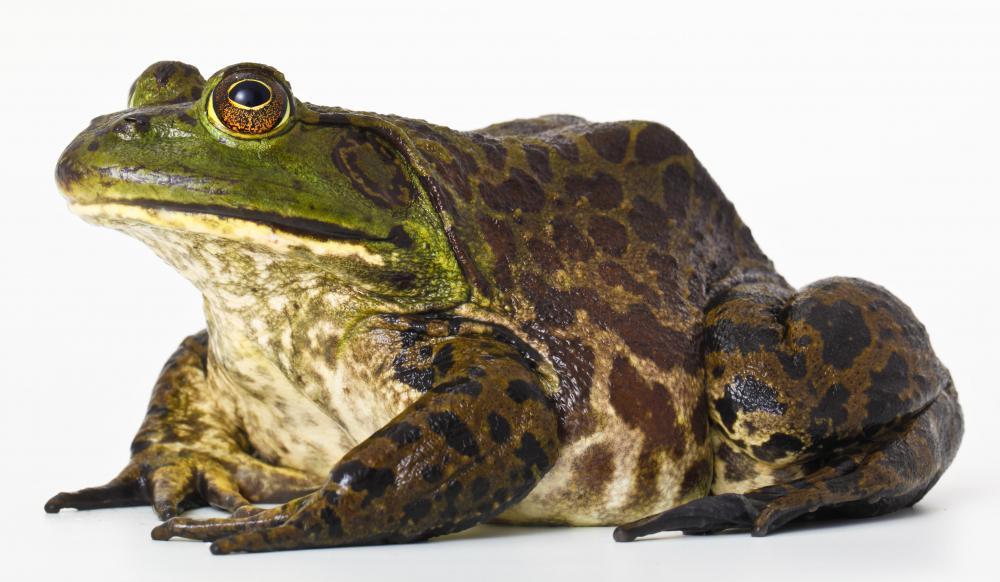 Some cold blooded animals, such as the bullfrog, hibernate during the winter.