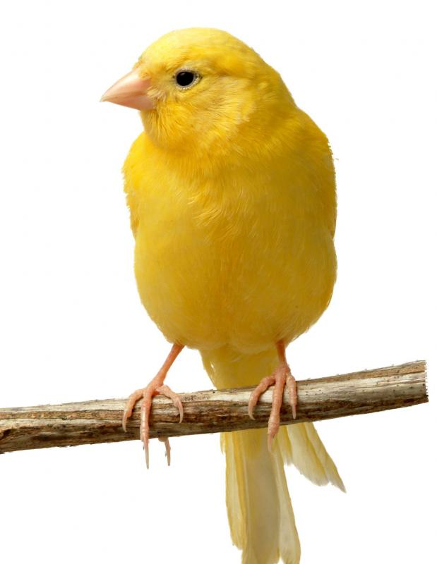 Birds, like canaries, can be good first pets.