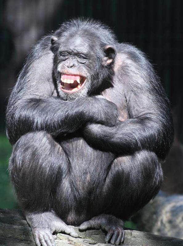 Like humans, chimpanzees exhibit contagious yawns, although scientists are still unsure why.