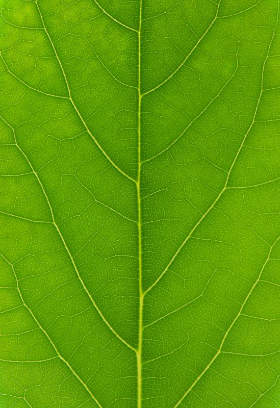 During the warmer months, leaves photosynthesize sunlight, producing chlorophyll.