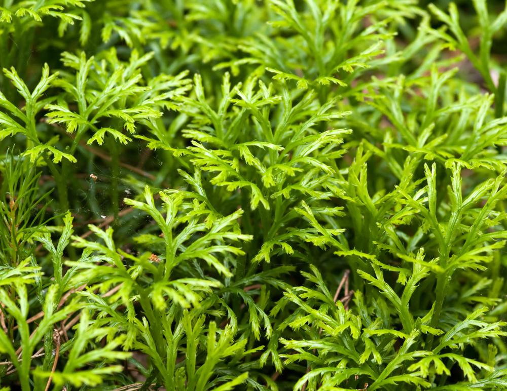 Club moss is not related to moss.