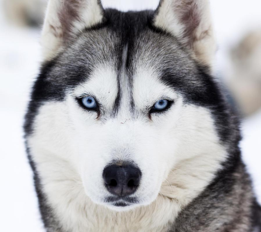 Huskies are among the dogs most likely to howl.