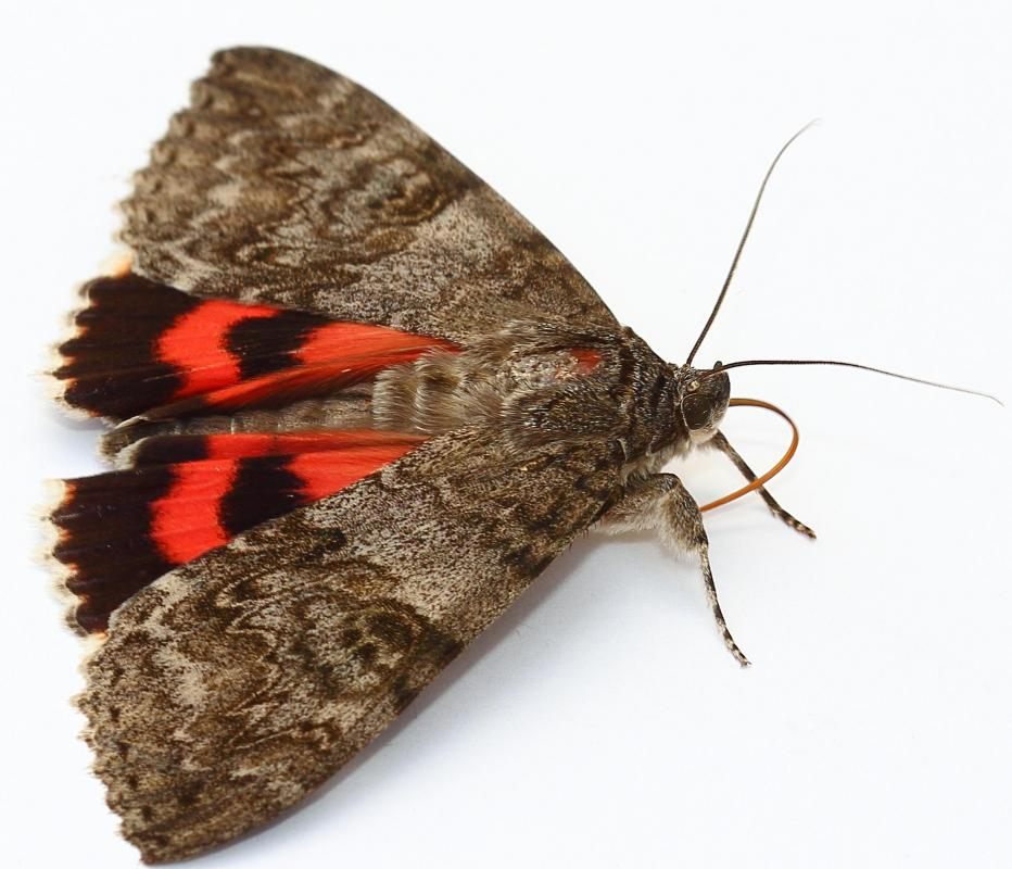 An adult moth will have feathery antennae and be active at night.