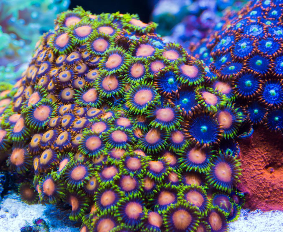 The bright colors exhibited by most species of coral provide excellent camouflage opportunities for marine species.
