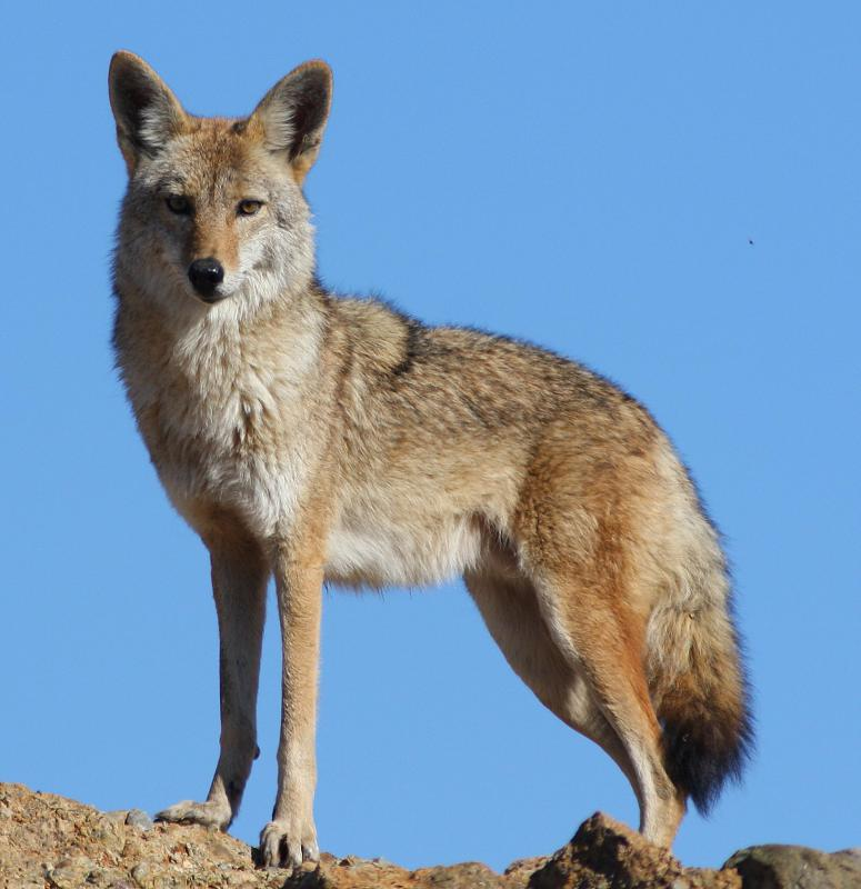 Sheep herders need to protect against coyotes.