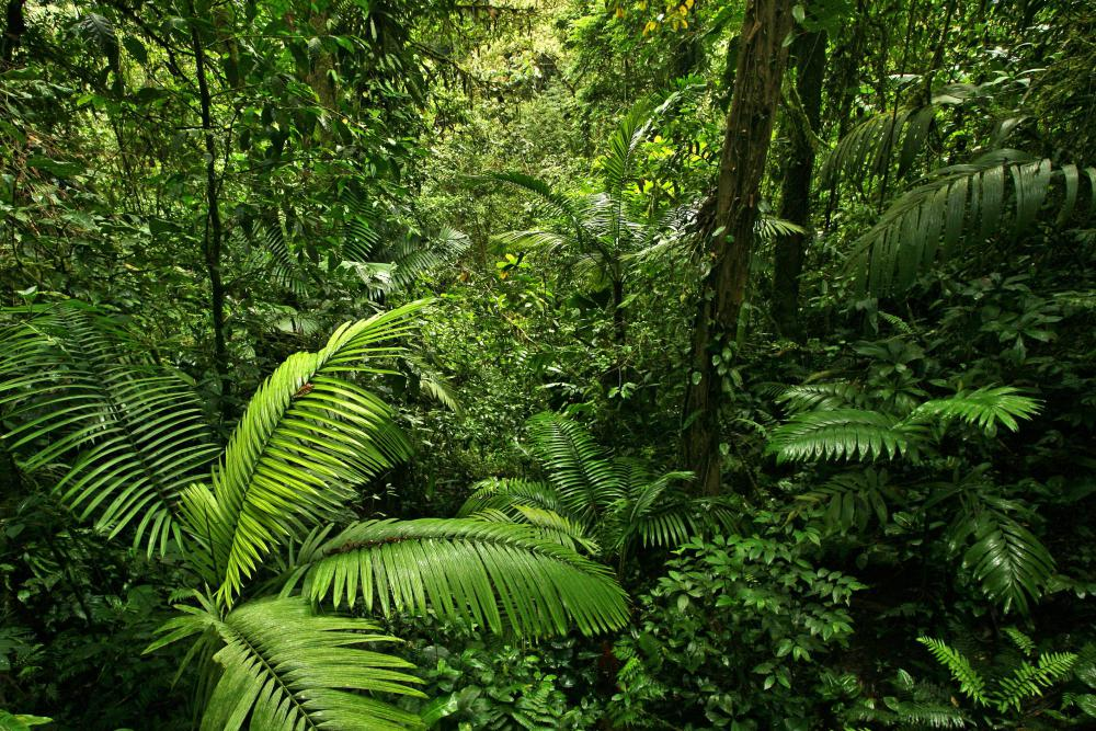 Nurse trees are important to all forests, including the Amazonian rain forest.