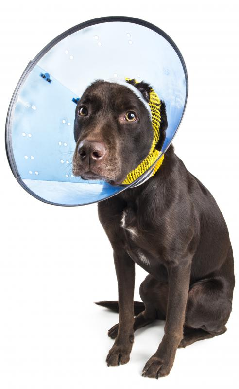 An E collar may help the scab heal if the pet won't leave it alone.