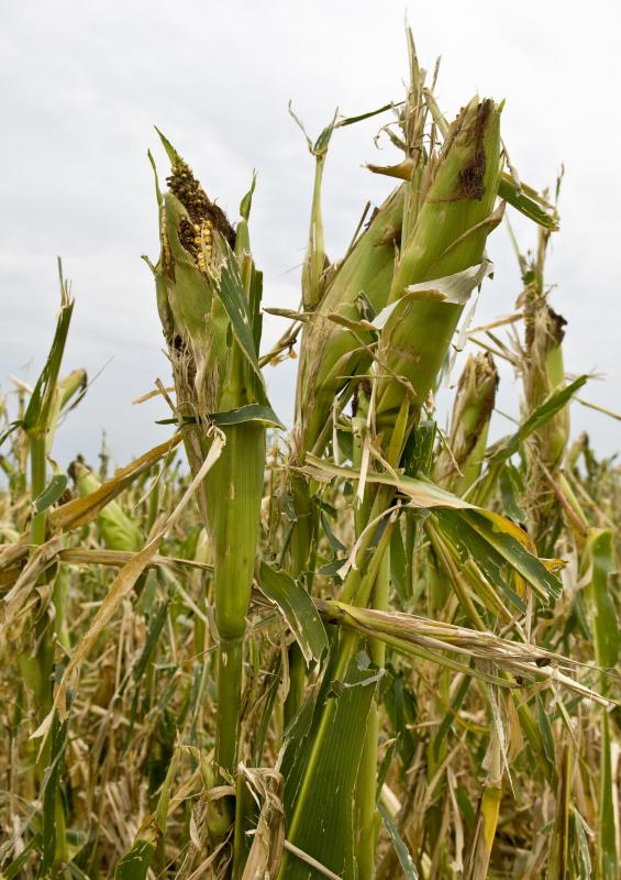 Agricultural producers lose valuable crops each year to disease.