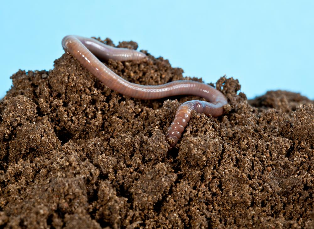 Worm snakes may look like earthworms, but they actually eat creatures like earthworms.