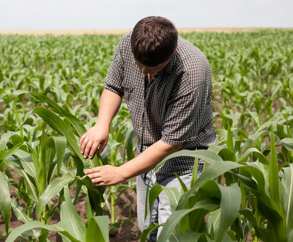 Monocropping refers to the practice of planting the same crop year after year without practicing crop rotation.