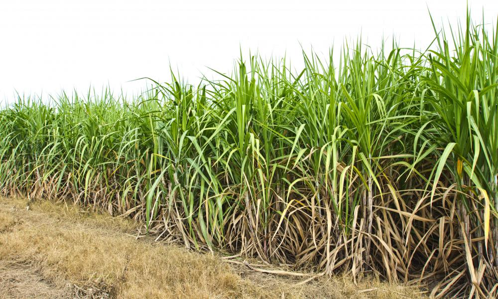 Sugarcane is a grass with thick stems and feathered leaves.