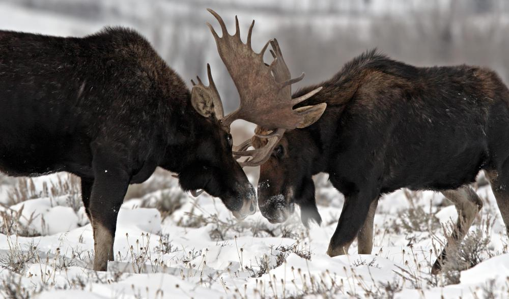 Moose are  which are hoofed mammals.