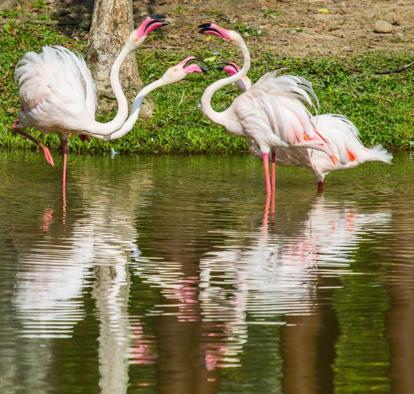 Their long necks and legs allow flamingos to stand in deep water.