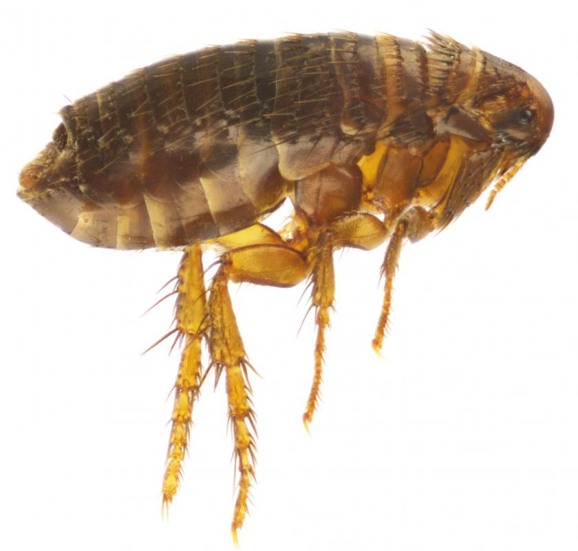 Considered a major pest to pets such as dogs, fleas bite and suck the blood of humans and animals.