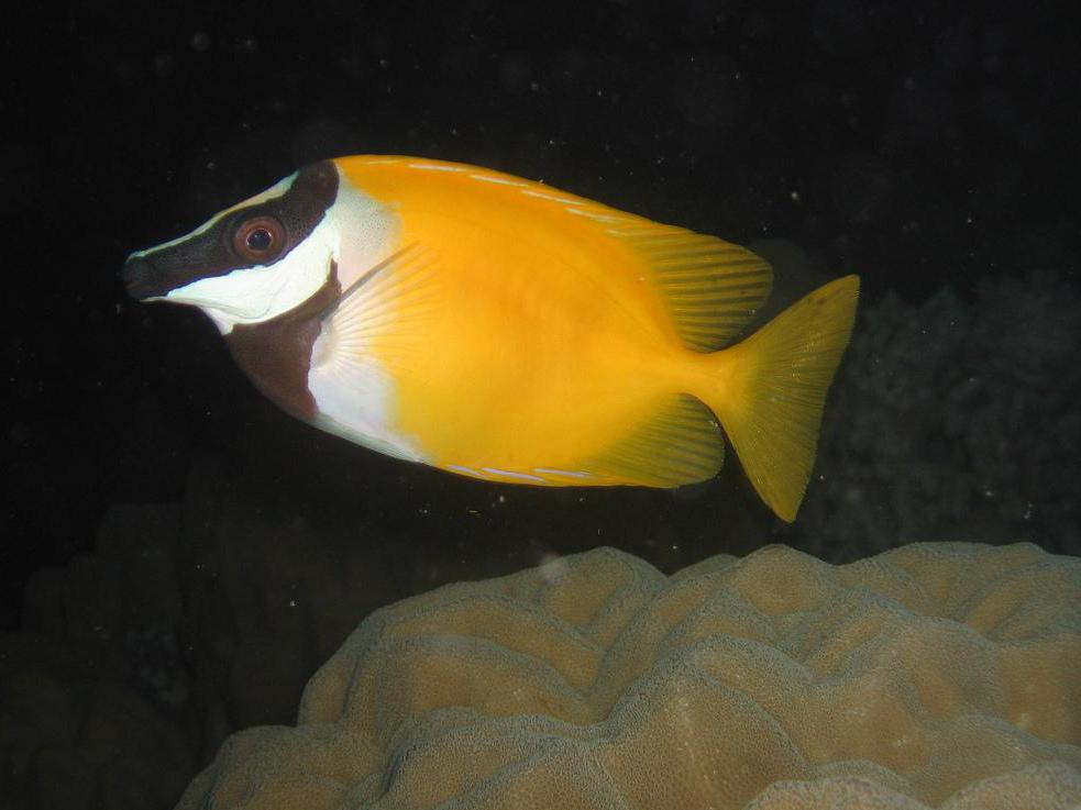 Fox-faced rabbitfish are good tank mates for hogfish.