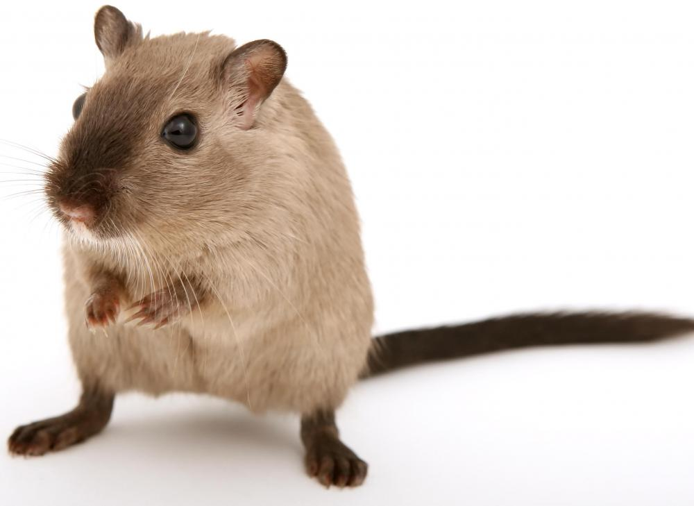 Gerbils live longer than hamsters and mice, and they are active during the day, so can be a good first pet.