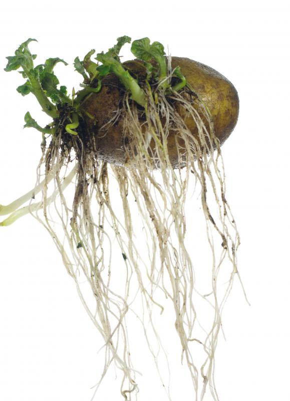 Growing tubers is very easy; a potato left in the ground will sprout and produce more potatoes the next year.