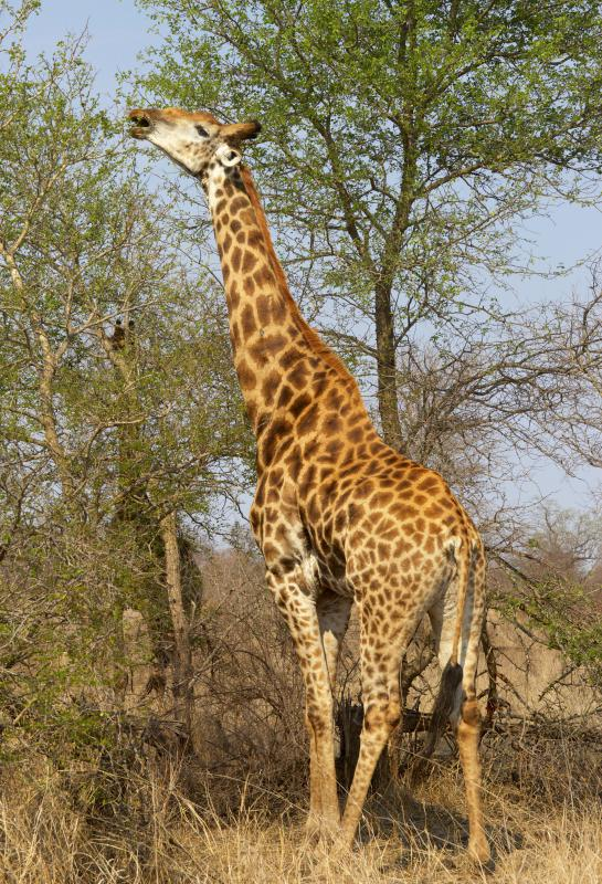 Giraffes are specialist animals, picking leaves off the tallest trees.