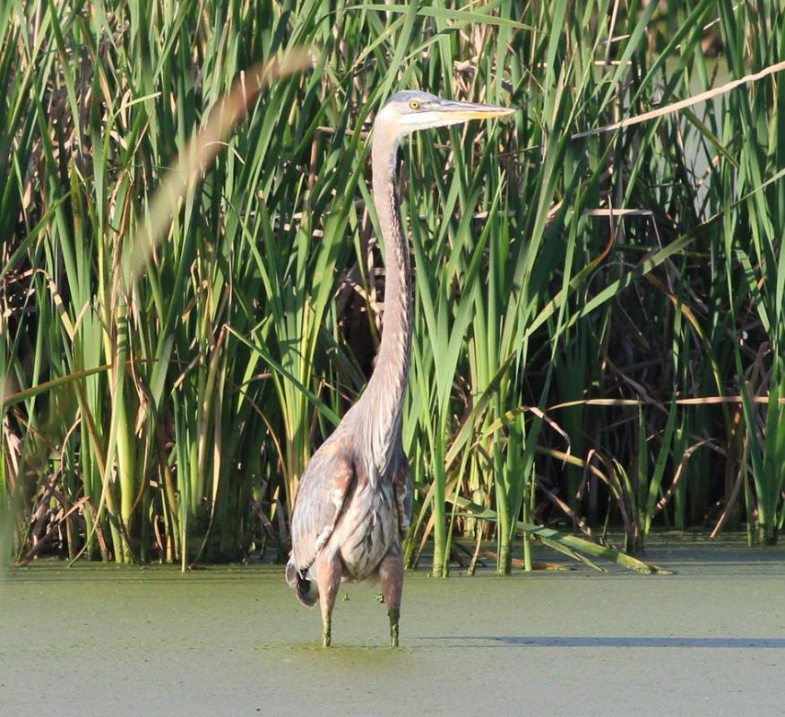 The great blue heron, which can grow up to four feet in height, wades into shoreline waters to feed.