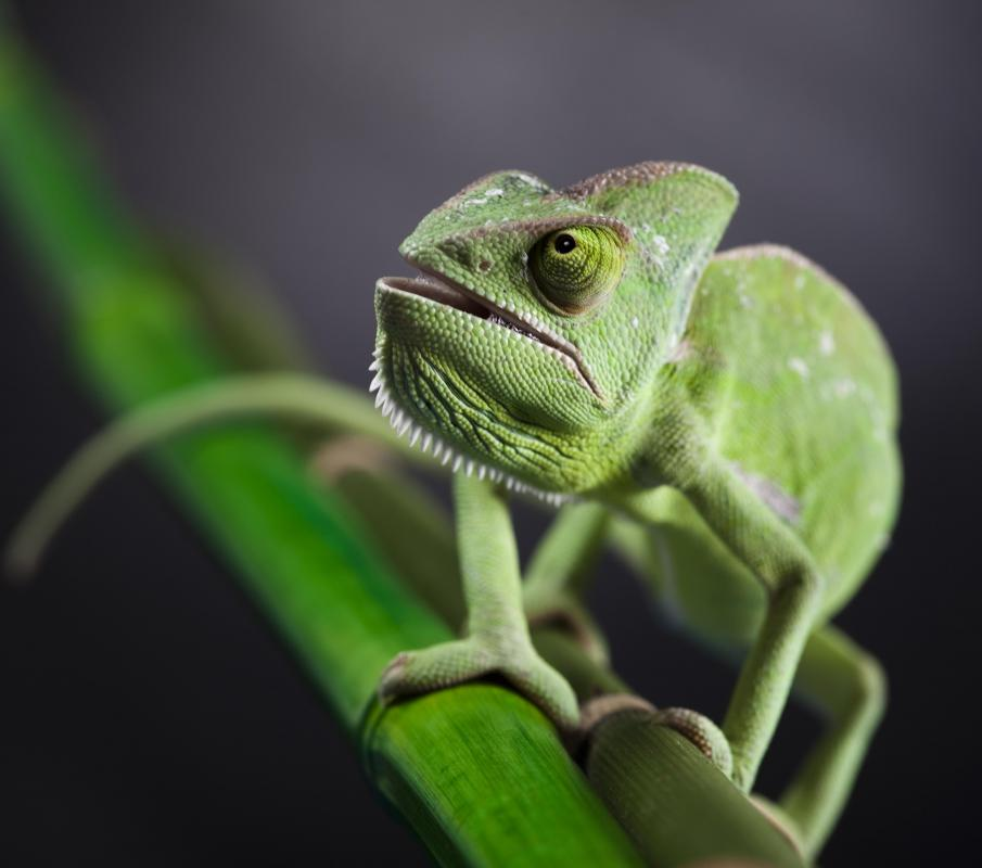 The veiled chameleon, along with the Jackson's and the panther, are among the breeds of chameleon that are most commonly kept as pets.