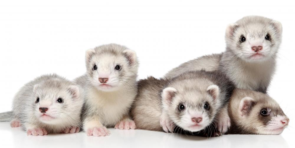 Ferrets are usually very active and can keep children entertained.