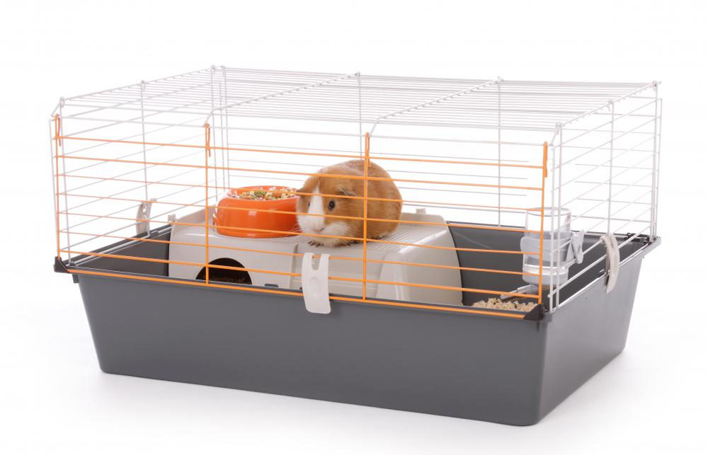 Guinea pigs are typically kept in a spacious cage.