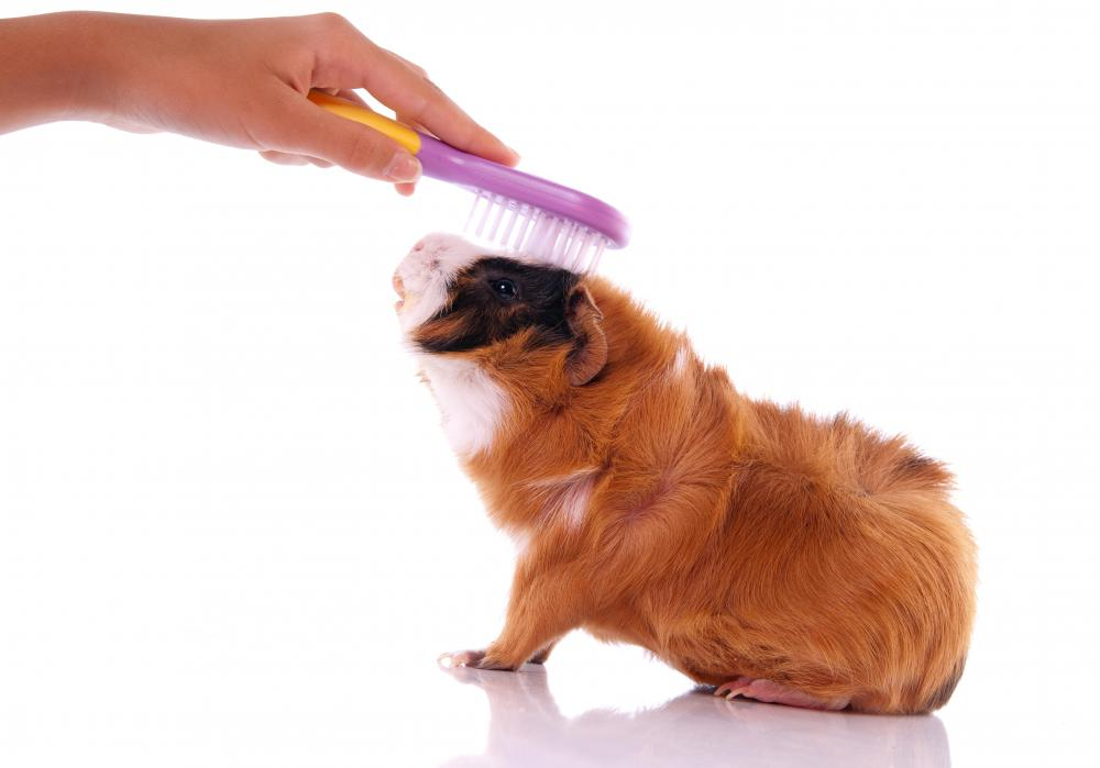 Basic hygiene is important for promoting guinea pig health.