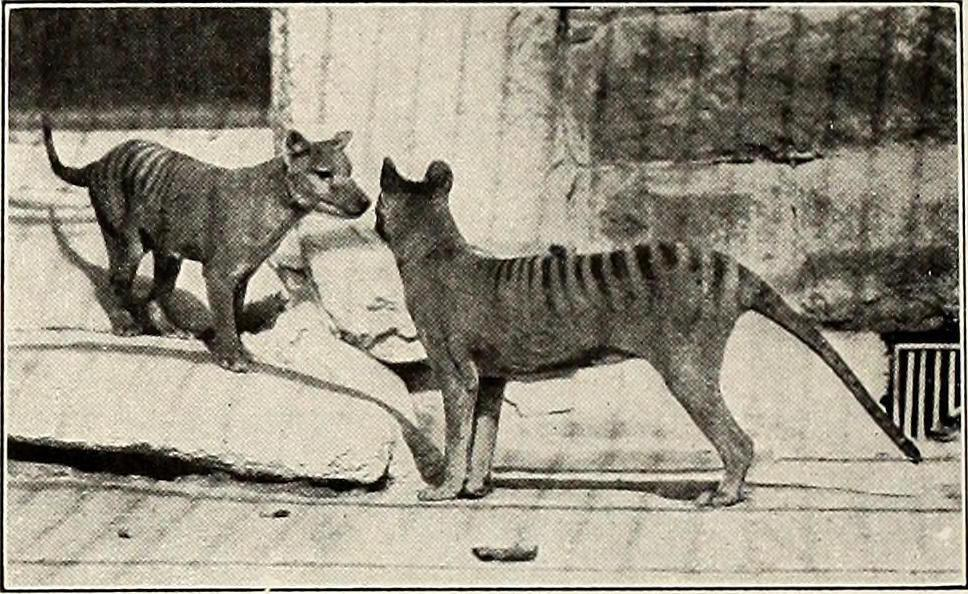 The Tasmanian tiger is another animal that became extinct during the 20th century.