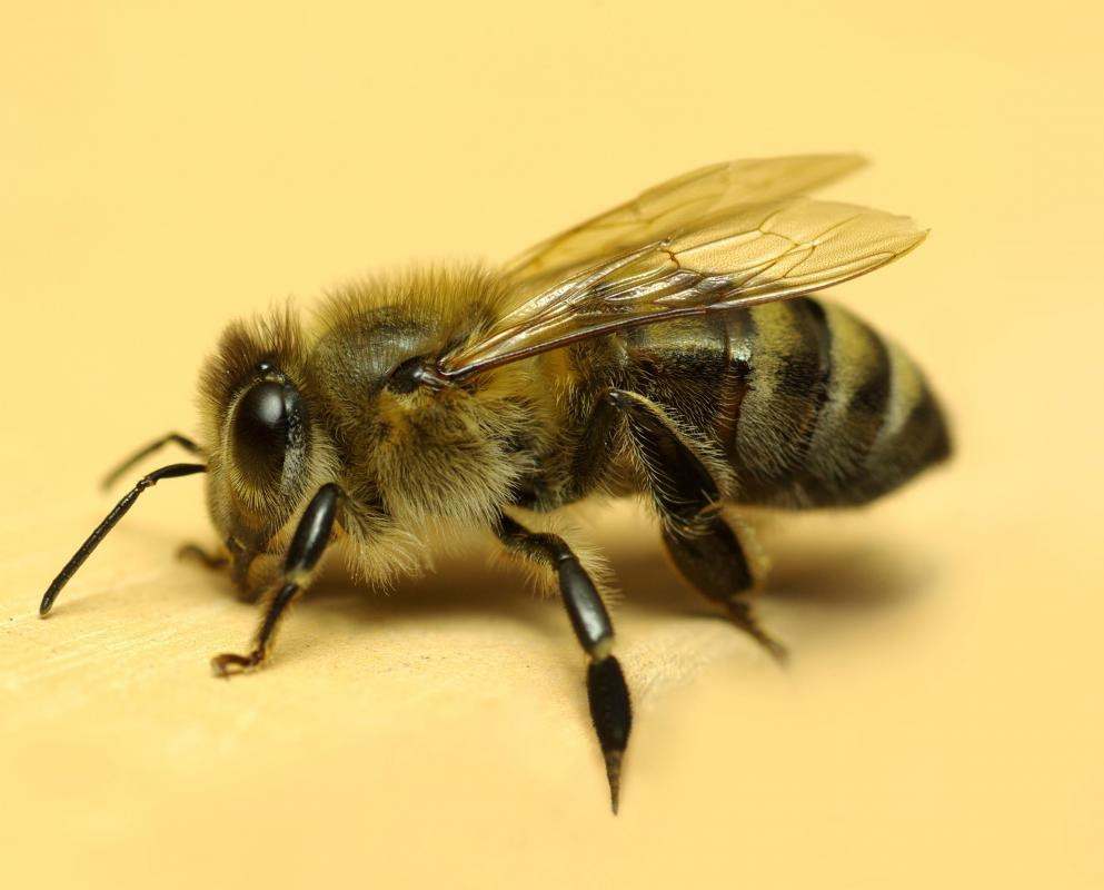 A honey bee.